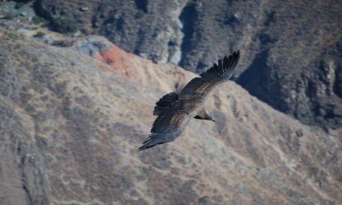 Zdjecie PERU / Kanion Colca / Okolice Arequipy / Młody kondor