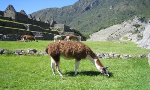 Zdjęcie PERU / Machu Picchu / Machu Picchu / Wikunia w Machu Picchu