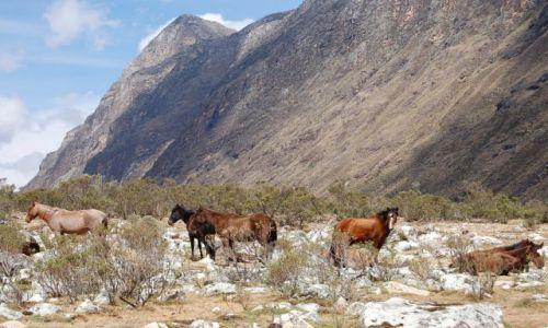 Zdjęcie PERU / Cordyliera Blanca / Huaraz / Dzikie konie