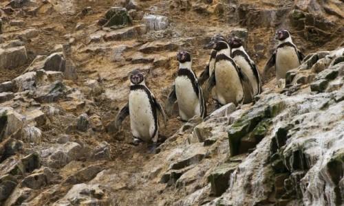 Zdjęcie PERU / Islas Ballestas / / / Pingwiny gęsiego
