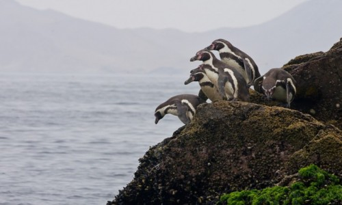 PERU / Islas Ballestas / / / U mnie głęboko, jak u ciebie?