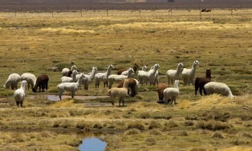 Zdjęcie PERU / Arequipa / w drodze / Mieszkańcy pampy (stadko alpak)