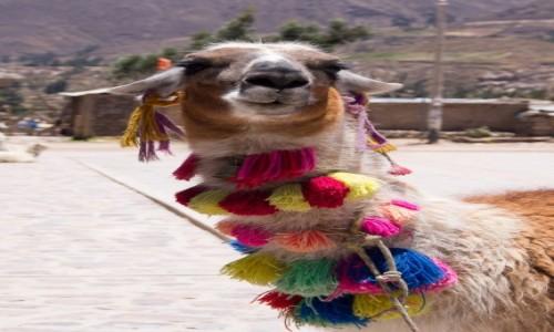 PERU / Arequipa / Colca Valley / Bidula