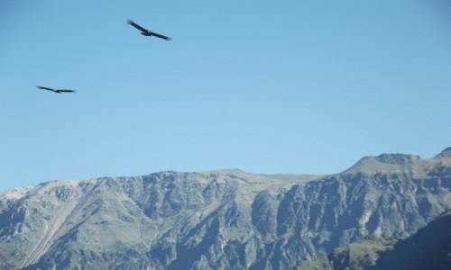 Zdjecie PERU / Arequipa / Kanion Colca / Kondory w kanio