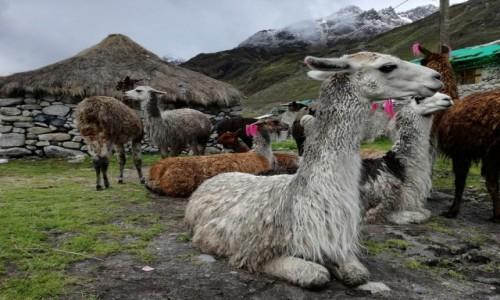 Zdjecie PERU / Cusco  / Andy / Dostojne lamy