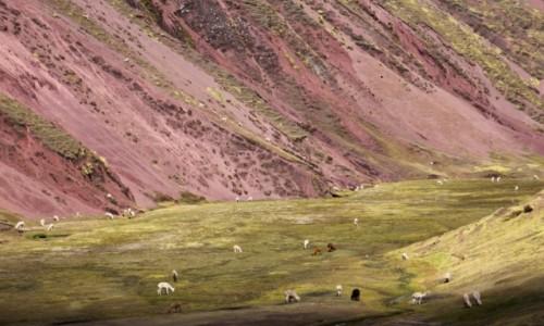 Zdjecie PERU / Ausangate / Ausangate - Czerwona Dolina / Lamy i pastwisko