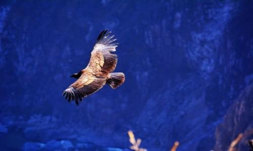 Zdjecie PERU / Chivay / Coca Canyon / El Condor Pasa