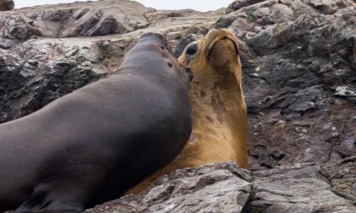 Zdjecie PERU / / / Islas Ballestas / Ogłuchłaś?