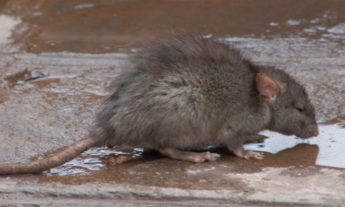 Zdjecie PERU / Cusco / Cusco / Spragniona myszka