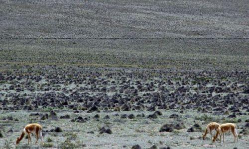 Zdjecie PERU / oko.Kanionu COLCA / Rezerwat WIGONII / Wigonie