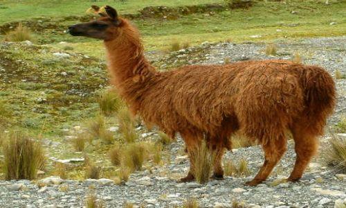Zdjecie PERU / Andy / Okolice miasta Junin / Lama