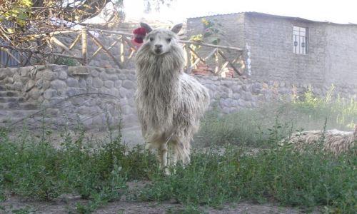 PERU / brak / w drodze z Arequipy do kanionu Colca / Llama