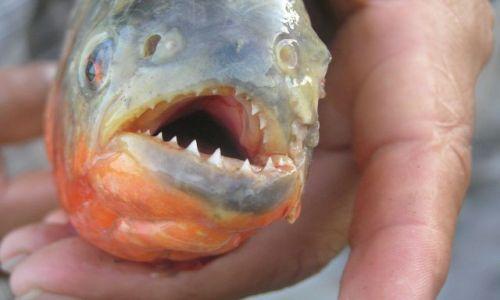 PERU / pólnoc Peru / wzdłuż rzeki Ucajali / ta to ma ząbki