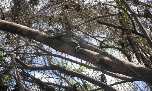 Zdjecie PERU / ółnoc kraju / wzdłuż rzeki Ucajali / iguana