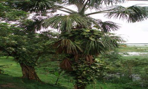 Zdjęcie PERU / dzungla (Loreto) / Iquitos / ogrod na palmie