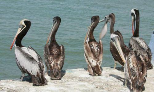 Zdjęcie PERU / Paracas / Paracas / Pelikan....ięta