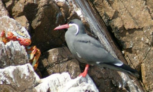 Zdjęcie PERU / Narodowy Rezerwat Paracas / Wyspy Ballestas / Jak by to było z krabem