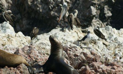 Zdjęcie PERU / Narodowy Rezerwat Paracas / Wyspy Ballestas /  Żyjemy jak w rodzinie