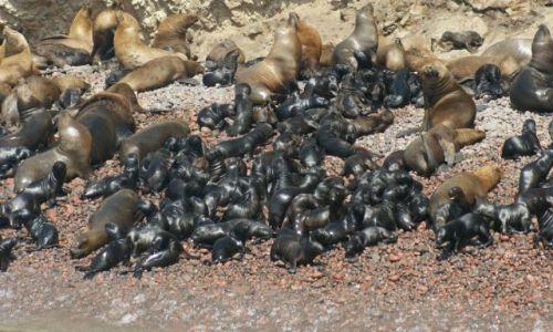 Zdjęcie PERU / Narodowy Rezerwat Paracas / Wyspy Ballestas / Samiec, samice i potomstwo