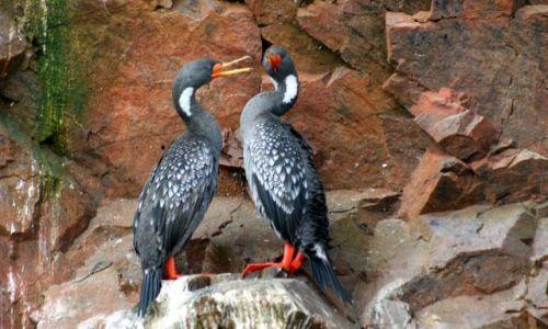 Zdjęcie PERU / Narodowy Rezerwat Paracas / Wyspy Ballestas / Kłótliwe czy namiętne