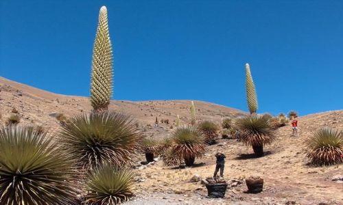 Zdjecie PERU / Cordillera Blanca / Okolice Nevado Pastoruri / Olbrzymie agawy - Puya Raimondii