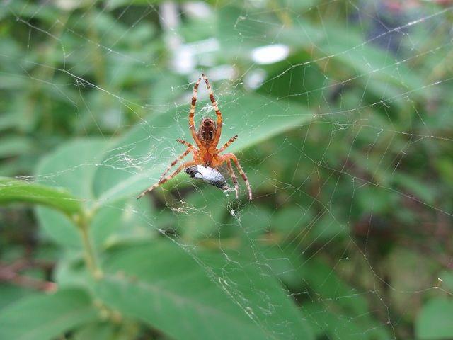 Zdjęcia: ogródek działkowy, Śląsk, taki sobie pająk ... , POLSKA