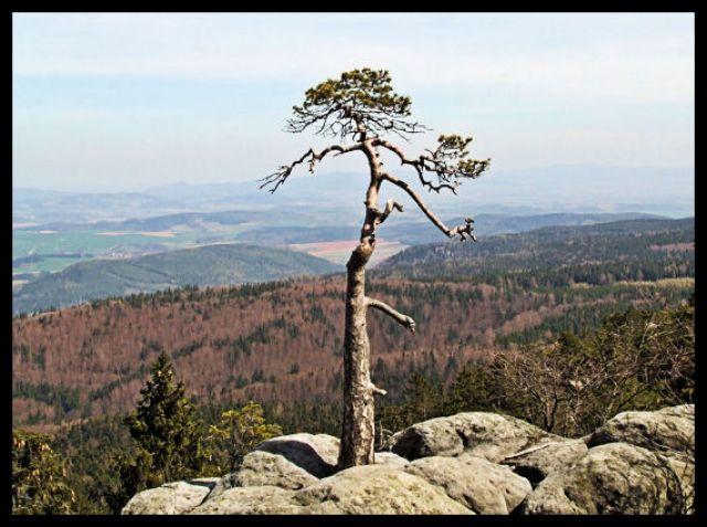 Zdjęcia: szczeliniec, Góry stołowe, drzewko, POLSKA