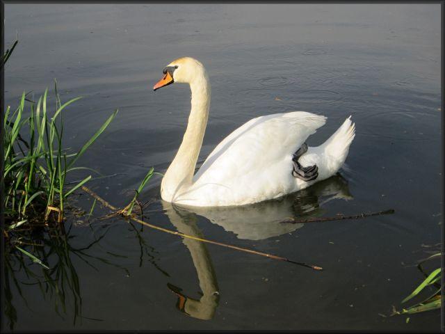 Zdjęcia: okolice Legnicy, dolnośląskie, łabędź, POLSKA