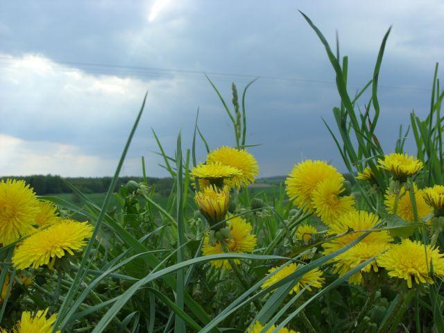 Zdjęcia: okolice Kętrzyna, Mazury, Mlecze, POLSKA