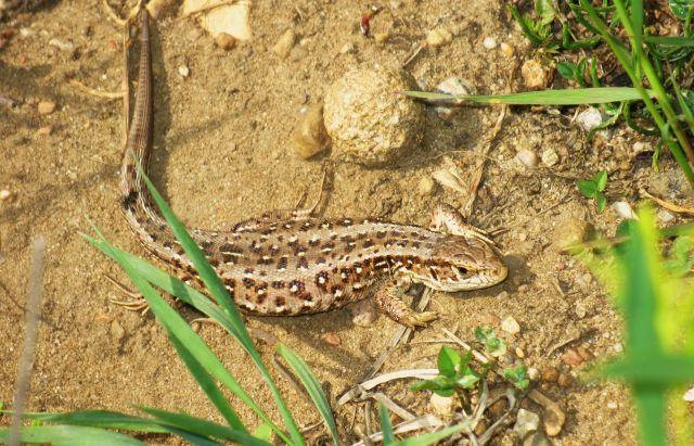 Zdjęcia: Mazowiecki Park Krajobrazowy, Mazowsze, Jaszczurka Zwinka, POLSKA
