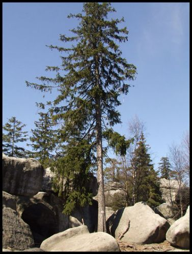 Zdjęcia: szczeliniec, Góry stołowe, drzewo, POLSKA