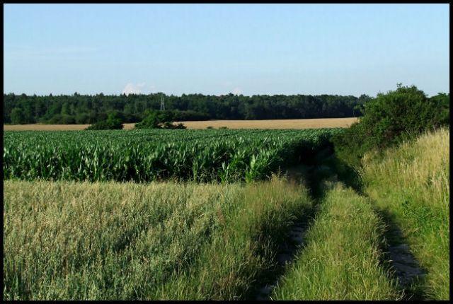 Zdjęcia: poletko, śląsk opolski, pole kukurydziane, POLSKA