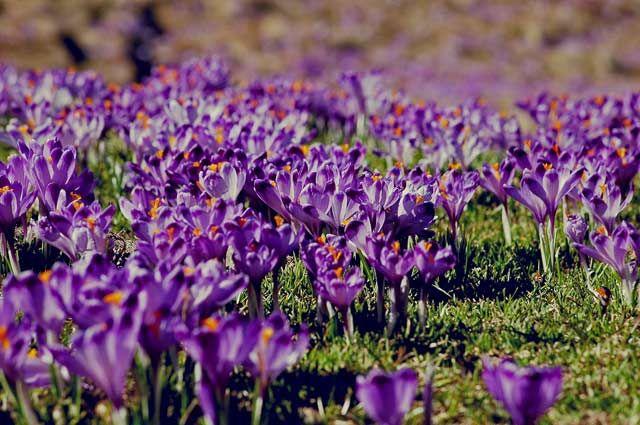 Zdjęcia: Dolina Chocholowska , Tatry, fioletowe pola , POLSKA