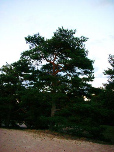 Zdj�cia: grzybowo, baltyk, drzewko szczescia, POLSKA