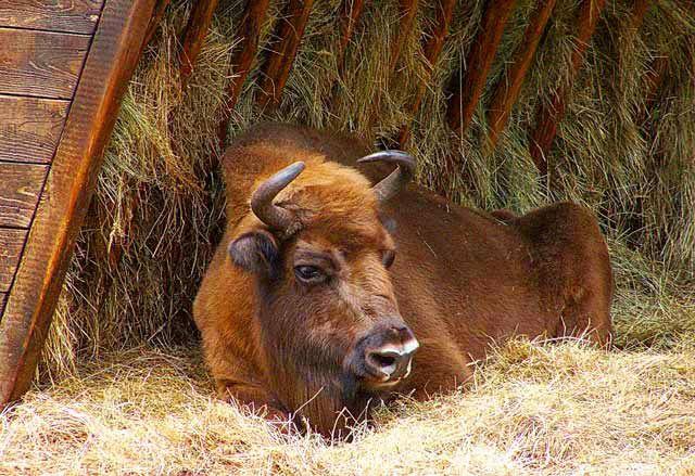 Zdj�cia: Woli�ski Park Narodowy, Pomorze Zachodnie, �ubr w trawie Puszczy ;), POLSKA