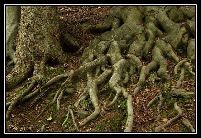 Zdj�cia: Pokrzywna, G�ry Opawskie, korzenie, POLSKA