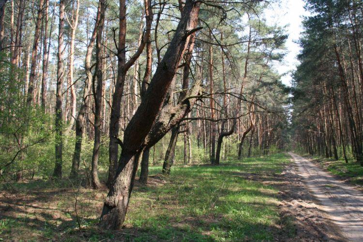 Zdjęcia: wies Młynarze, mazowsze, droga przez las, POLSKA