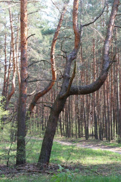 Zdjęcia: wies Młynarze, mazowsze, krzywe drzewa, POLSKA