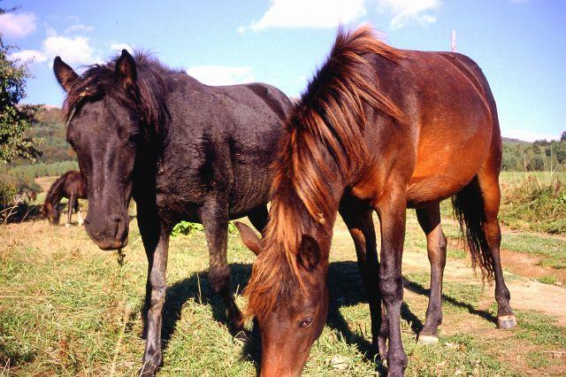 Zdjęcia: Pod Tarnicą, Bieszczady, Bieszczadzkie konie, POLSKA