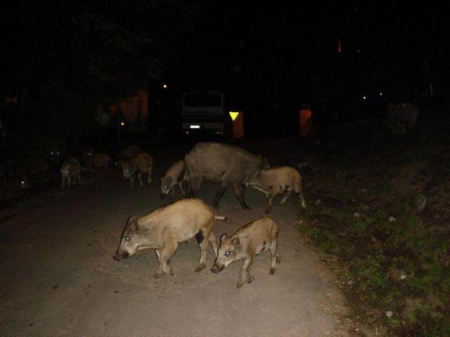 Zdjęcia: Lubin, Wyspa Wolin, Swobodnie przechadzające się dziki we wsi Lubin, POLSKA