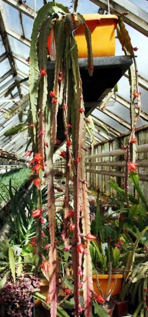 Zdjęcia: Hodowla kaktusów i innych sukulentów, Rumia, Okaz, POLSKA