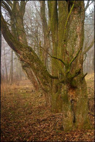 Zdjęcia: las, woj.Opolskie, w szeregu, POLSKA