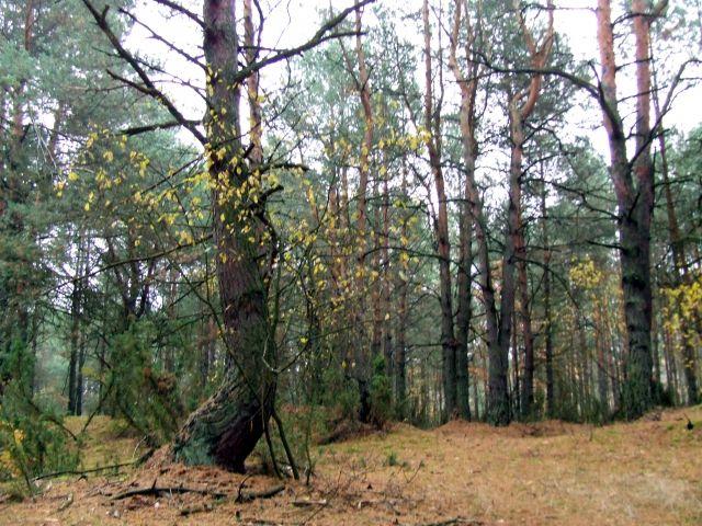 Zdjęcia: Dęblin, las, POLSKA