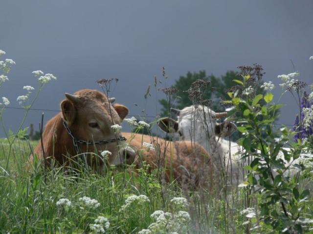 Zdjęcia: Gołdap, Puszcza Romincka, krowa, POLSKA