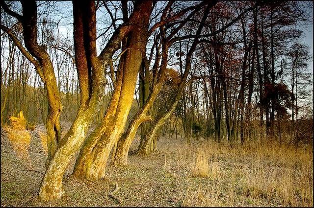 Zdjęcia: stare bagna, woj.Opolskie, las, POLSKA
