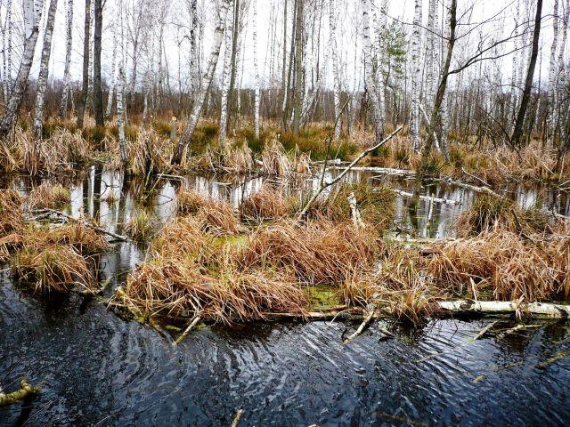 Zdjęcia: mazowsze, mazowsze,  leśne mokradła, POLSKA
