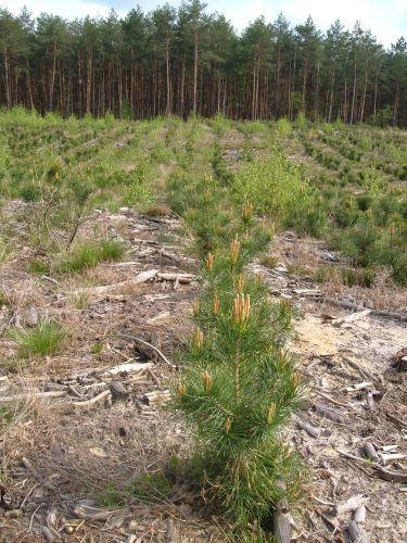 Zdjęcia: 30 km od centrum stolicy, mazowsze, rośnie młody las, POLSKA