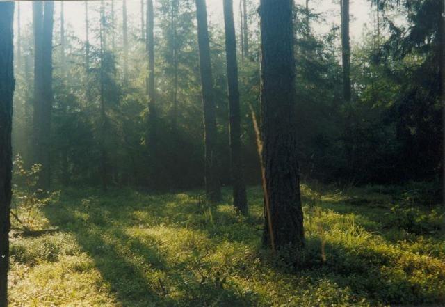 Zdjęcia: Puszcza Knyszyńska, Podlasie, Świt w puszczy, POLSKA