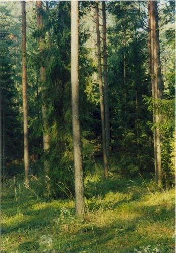Zdj�cia: Puszcza Knyszy�ska, Podlasie, Drzewo, POLSKA