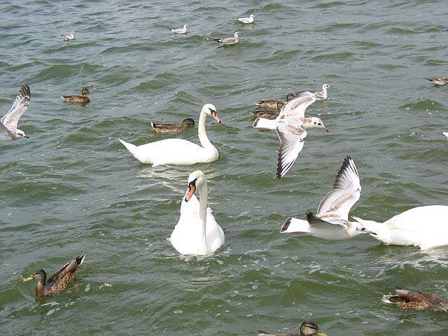 Zdj�cia: Kamien Pomorski, Pomorze, Ptaki, POLSKA